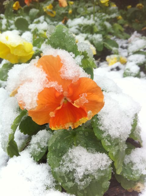 First snow of the year lightly blanketing orange bloom