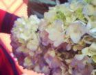 hydrangeas_day